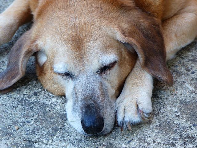 přirozená strava pro starší psy